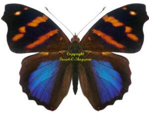 epiphile-orea