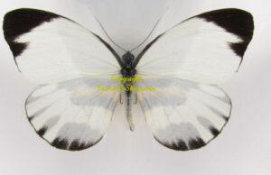 perrhybris-pyrrha