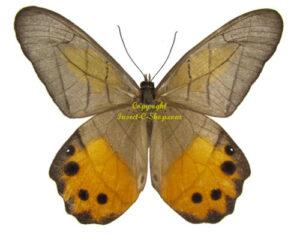 pierella-hyceta