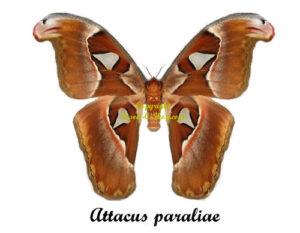 attacus-paraliae-female