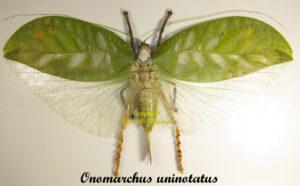 onomarchus-uninotatus