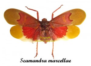 scamandra-marcellae