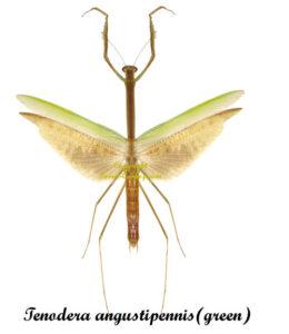 tenodera-angustipennisgreen