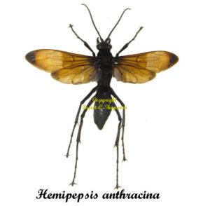 hemipepsis-anthracina