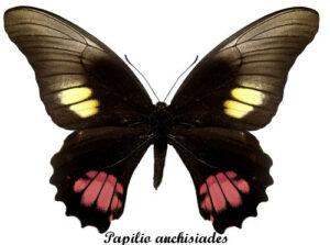 papilio-anchisiades