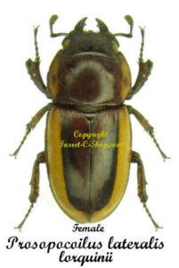 prosopocoilus-lateralis-lorquinii-female