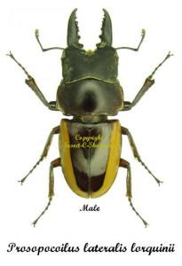 prosopocoilus-lateralis-lorquinii-male