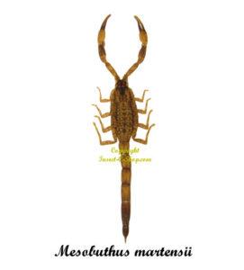 mesobuthus-martensii