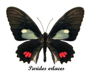 parides-erlaces-2