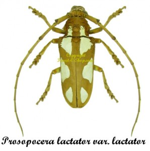 p-l-lactator-f