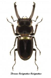 dorcus-bisignatus-bisignatus
