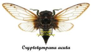 cryptotympana-acuta