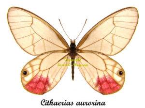cithaerias-aurorina