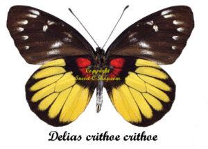 delias-crithoe-crithoe