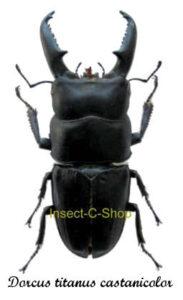 dorcus-titanus-castanicolor