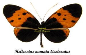 heliconius-numata-bicoloratus