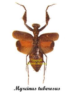 myrcinus-tuberosus