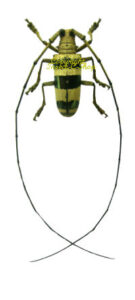 nemophas-rosenbergi-male