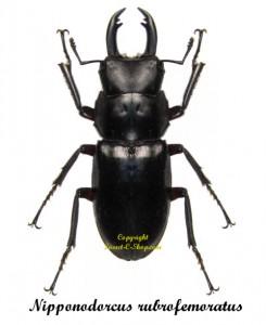 nipponodorcus-rubrofemoratus