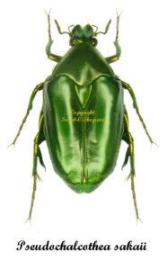pseudochalcothea-sakaii