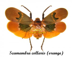 scamandra-collaris-orange