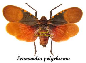 scamandra-polychroma