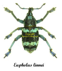 eupholus-linnei