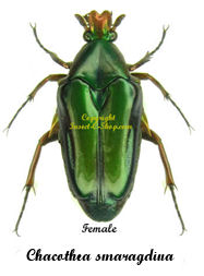 chacothea-smaragdina-female