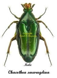 chacothea-smaragdina-male