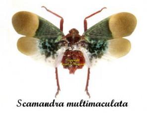 scamandra-multimaculata