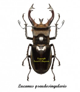 lucanus-pseudosingularis