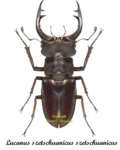 lucanus-szetschuanicus-szetschuanicus