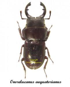 onorelucanus-aequatorianus