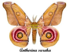 antherina-suraka
