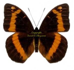 lexias-aeropus-aeropus-male