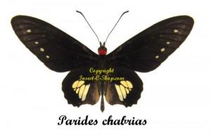 parides-chabrias