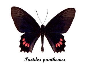 parides-panthonus