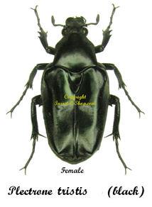 plectrone-tristis-female
