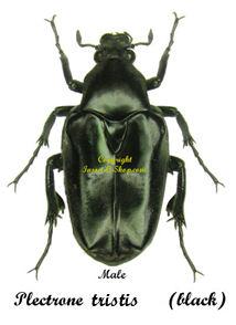 plectrone-tristis-male