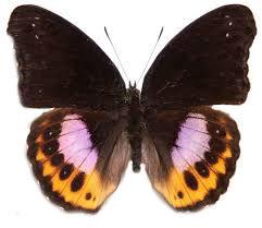 hypolimnas-pandarus-pandarus-male