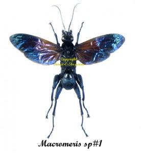 macromeris-sp-1