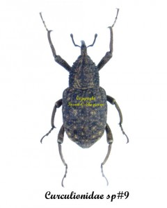 bug-curculionidae-sp9