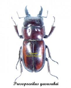bug-prosopocoilus-yasusukei