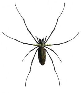nephila-kuhlii