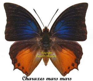 charaxes-mars-mars