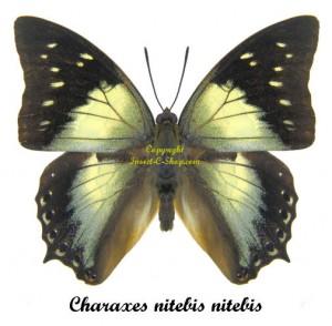 charaxes-nitebis-nitebis