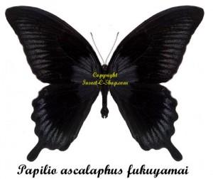 papilio-ascalaphus-fukuyamai