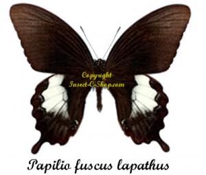 papilio-fuscus-lapathus