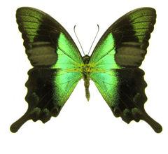 papilio-peranthus-adamantius