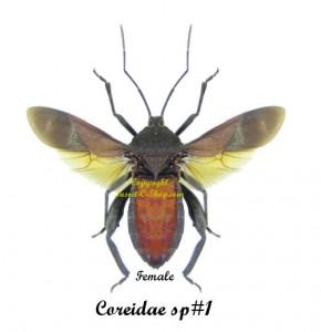 coreidae-sp1-female